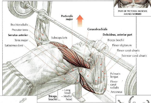 Bench Press Anatomy