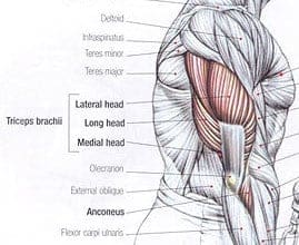 Triceps Anatomy and Exercises - Three Tricep Heads
