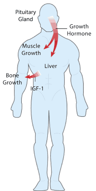 Diagram of How Human Growth Hormone (HGH) Works